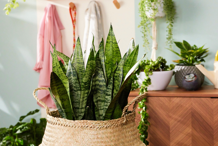 close up image of a snake plant indoors